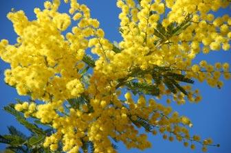 Life in France : La Fête du Mimosa | Megan In Sainte Maxime