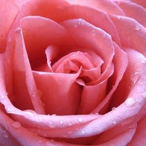 rose de mai plain
